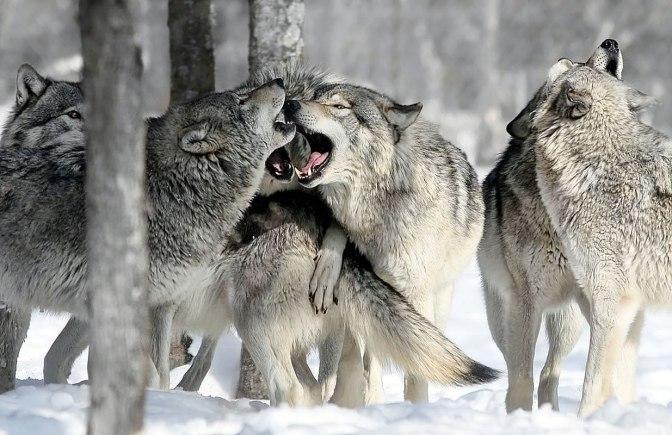 Cazadores de mitos: Los 25 lobos en la nieve